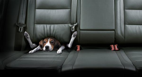 Diesen Hund hat's in die Sitze gezogen. Bekannt aus einer Autowerbung, die Geschwindigkeit rüberbringen sollte.