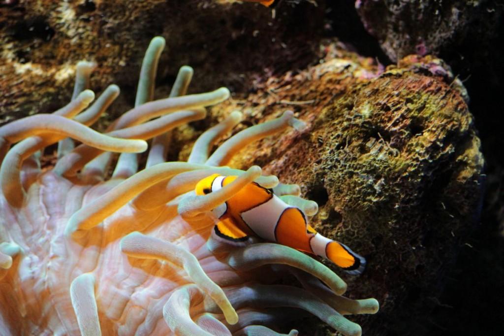 Clownfisch in einer Seeanemone